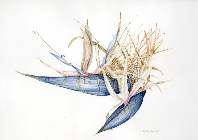 Florilegium Marie Van Lint Bird of Paradise plant credit Albury City