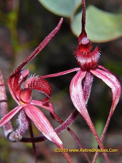 arachnorchis concolor 2 retired aussies