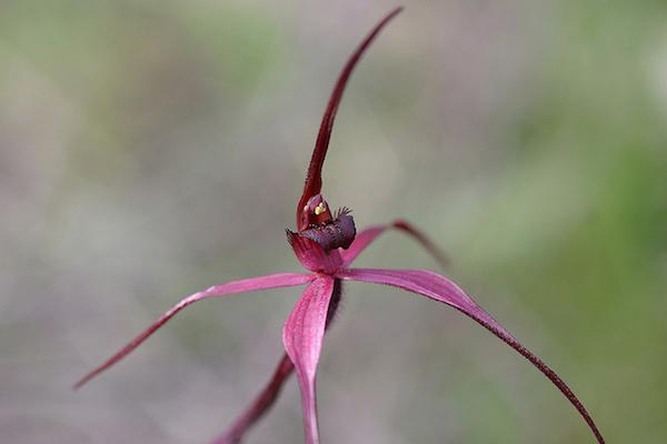 Caladenia concolor Aust Netw for Plant Conservn www.flickr.com:photos:anpc:8743658096