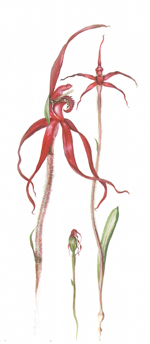 Crimson Spider Orchid painting Moira Russell