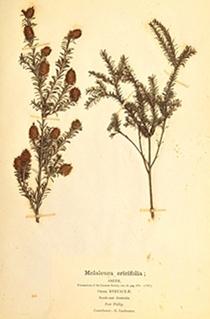 Melaleuca_ericifolia in von Mueller's third fascicle 1876 National Museum Australia via Maraoke